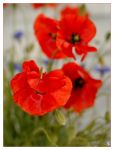 in the world of poppies ... by grandma-S