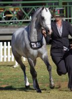 STOCK - 2014 TotR Arabians-2 by fillyrox