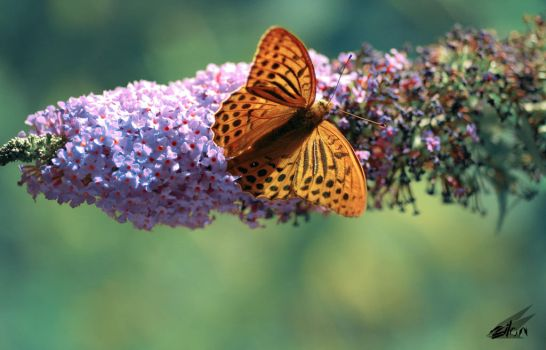 Butterfly tabac d'espagne by Svergithz