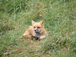 Red Fox by Milloune