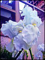 White Iris under the Eiffel's Tower by Kayleyn
