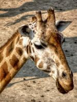 My favorite Animal - Giraffe by pingallery
