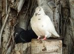 Brace of pigeons by wildplaces