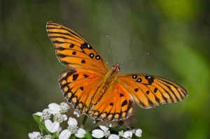 gulf fritillary butterfly by artbylink