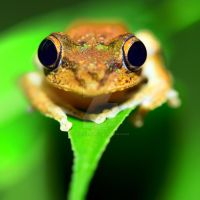 Tree frog by MotHaiBaPhoto