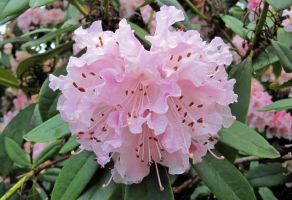 Pale Pink Rhododendron by videodude1961