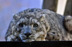 Snow Leopard 6528 by robbobert