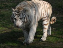2011 - White tiger 2 by Lena-Panthera
