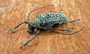 Spotted Longhorn Beetle by FauxHead