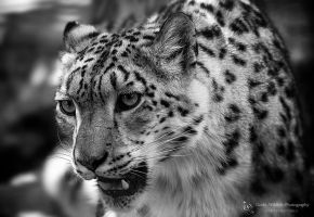 Snowleopard, Stuttgart I by FGW-Photography