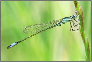 Ischnura elegans by Dark-Raptor