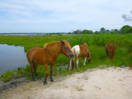 Assateague ponies I by snaphappy101