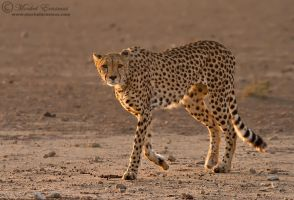 Cheetah Dawn Patrol by MorkelErasmus