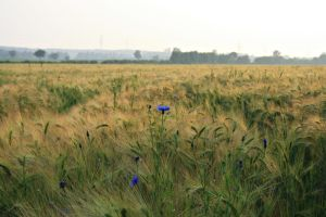 Field Collection: Cornflower by Germanstock
