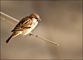 Sparrow 1 by Grofica