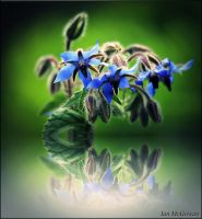 Borage . by 999999999a