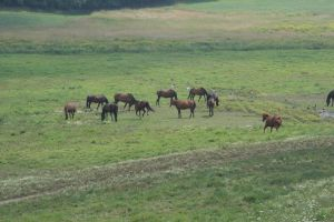 Large Herd of Horses in Pasture - UConn by HorseStockPhotos