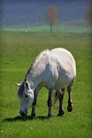 white horse by iacobvasile