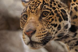 Jaguar Portrait 7633 by robbobert