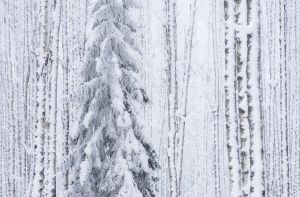 White Forest by JoniNiemela
