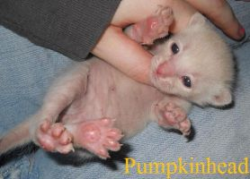 """Pumpkinhead"" the kitten by absinthiac"