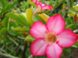 Pink Star Flower by my-dog-corky