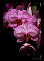 Orchid II by TheDraperyFa11s