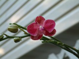 Red Orchid by Mitszell