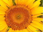 Sunflower. by CookiebreedRoxana