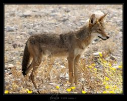 Coyote by Crooty