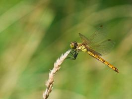 Dragonfly 4 by Scorpini-Stock