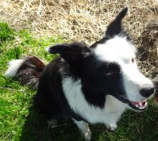 Border Collie by Ayame6464