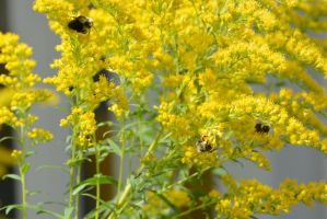 Searching for Gold,Bees Gettin Lost In Yellow3 by Miss-Tbones