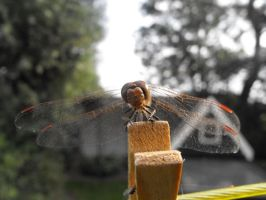 Dragonfly aug.2012 by Trea1969