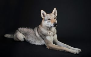 Czech Wolfdog 2 by Lakela