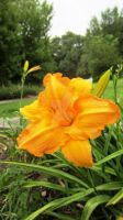 Orange Flower by quickwing23