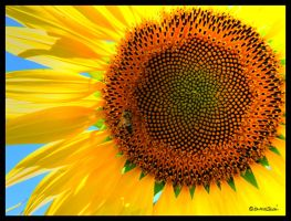 The sunflower and the bee by andrearossi