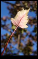 Maple Leaf by whimsicalchaos