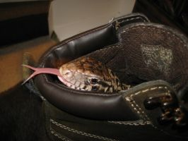 Lizard in my boot by Kebechett
