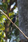 Chengcing Lake Drongo by meihua