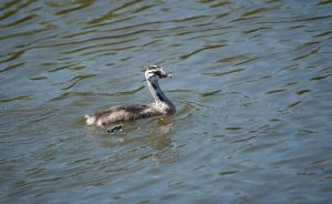 Young Great Crested Grebe by Danimatie