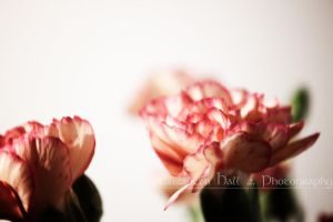 Baby Carnations by Ailvayn