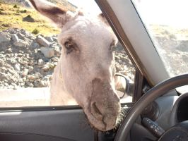 Donkey in our car by Neko-longtail