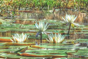 Gilded Water Lilies by chalutplease