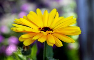 Yellow Flower Macro by crazyal154