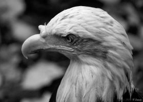 Black and White Eagle by Wilmsy