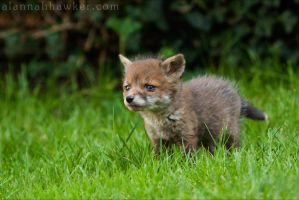 Fox Cub 02 by Alannah-Hawker