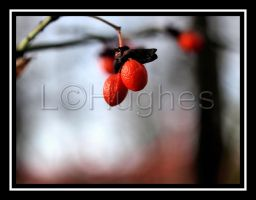 Fall Berries by lehPhotography