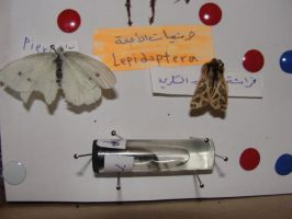 Lepidoptera by gelo-tim
