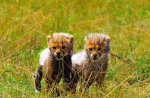Cheeta Cubs by Arathrim